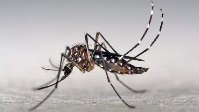 Mosquiro Aedes aegypti